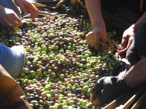 Harvesting at Rangihoua Estate