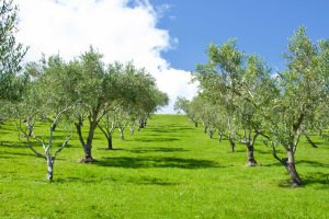 Image of Olive Grove